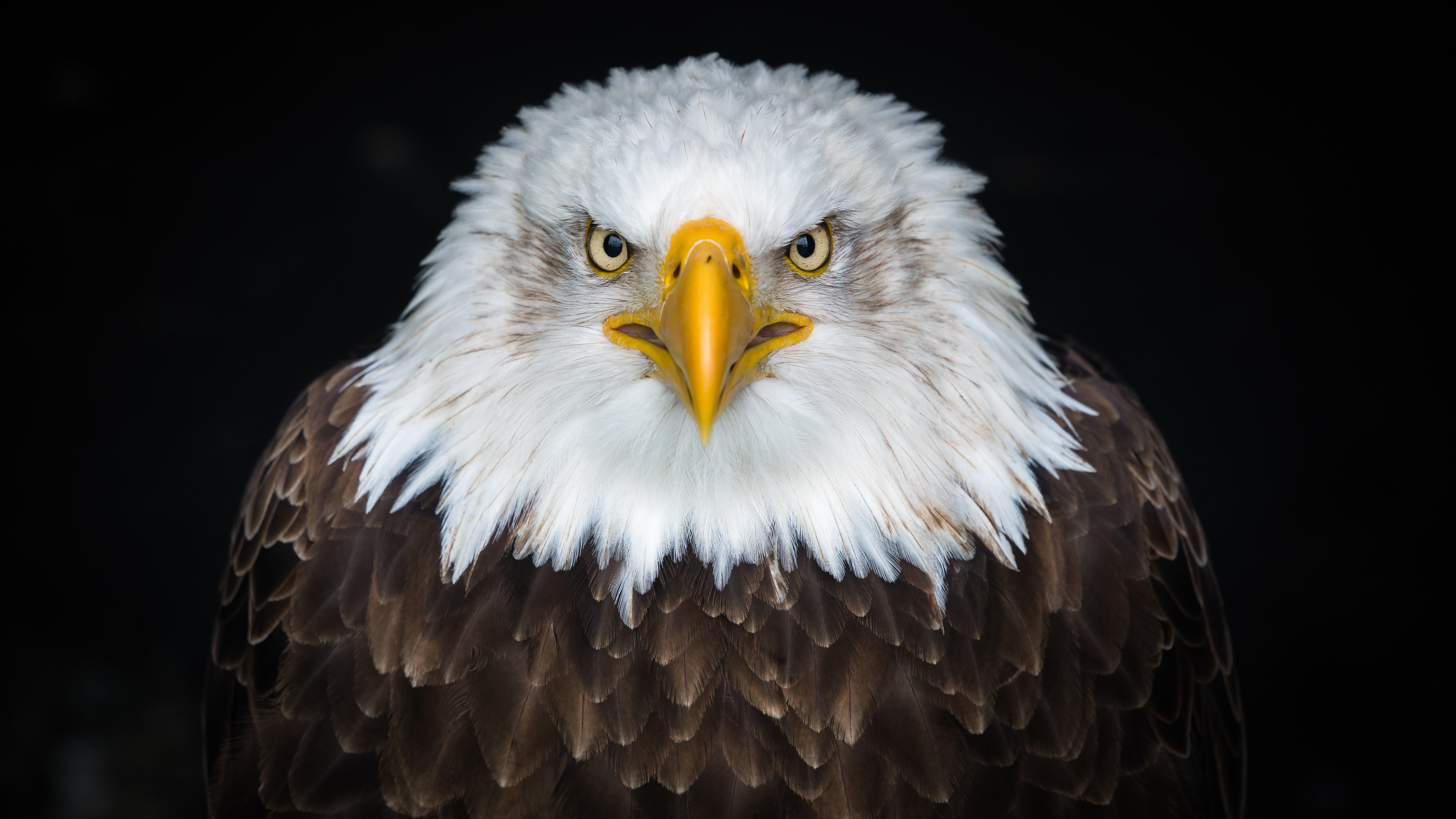 Happy Veteran's Day 2017! Bald Eagle
